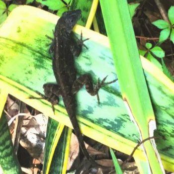 deep-brown-gecko