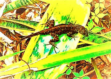 tattooed gecko