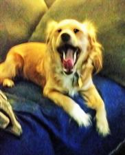 Cookie yawning