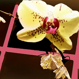 ORCHID AT WINDOW